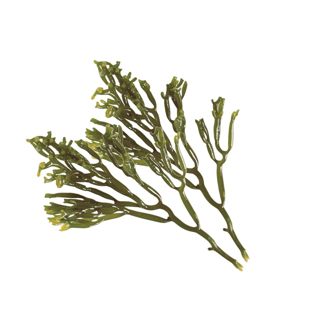 Θαλάσσια Φύκια